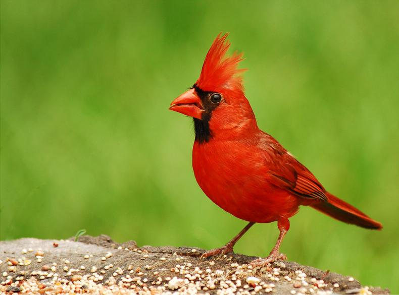 The Sign Of The Red Cardinal